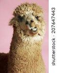 closeup of an alpaca against...   Shutterstock . vector #207647443