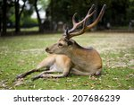beautiful sika deer with large... | Shutterstock . vector #207686239