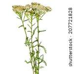Small photo of Milfoil herbal medicine , Yarrow ( Achillea millefolium L. )