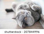 Relaxing Lying Grey Brittish...