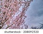 Cherry Blossom  Sakura Flowers