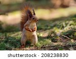 Cute Little Red Squirrel In The ...