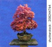 Small photo of Bonsai tree Japanese maple webbed (Acer palmatum)