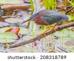 Little Green Heron Perched On A ...
