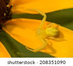 Tiny Crab Spider In The Genus...