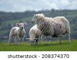 Lamb With Adult Sheep At...