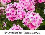 Pink Phlox Flower   Genus Of...