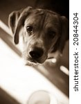 a young beagle dog eagerly...   Shutterstock . vector #20844304
