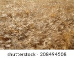 golden barley field in the wind | Shutterstock . vector #208494508