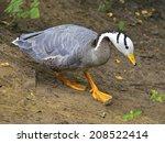 Bar Headed Goose  Anser Indicus