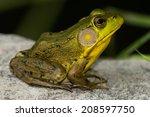 Northern Green Frog Sunning...