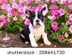 French Bulldog Puppy Sitting I...
