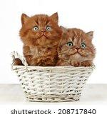 Two British Long Hair Kittens...