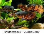 Oscar Fish  Astronotus...