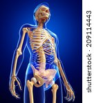Illustration Of Human Skeleton...