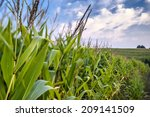 Corn Field On A Background Of...