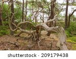 Old Gnarled Pine Trees In A Ol...