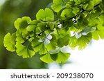 Ginkgo Biloba Green Leaves On ...