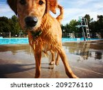 Stock photo  a dog at a local public pool 209276110
