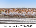 white pelicans  pelecanus...   Shutterstock . vector #209468848