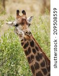 a portrait of a wild giraffe... | Shutterstock . vector #209508559