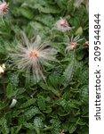 Small photo of White dryad (Dryas octopetala) seeds.