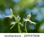 Small photo of Beautiful white rein orchis in Japanese summer forest