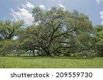 St. Landry Parish Oak