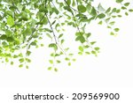 young leaves of katsura | Shutterstock . vector #209569900