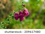 Digitalis Purpurea. Foxglove ...