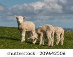 Cute Lambs Grazing On Fresh...