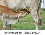 Calf Suckling Milk