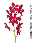 red orchid on white background | Shutterstock . vector #209726944