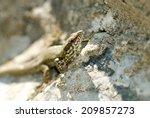 viviparous lizard  common lizard | Shutterstock . vector #209857273