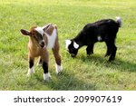 Two Cute Baby Goats On A Farm...