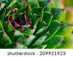 Close Up View On The Succulent...