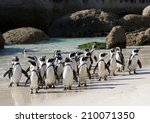 African Penguin Crowd