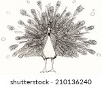peacock. hand drawn illustration | Shutterstock . vector #210136240
