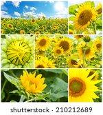 Sunflowers In Summer   Photo...