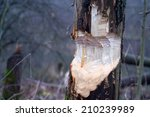 tree and beavers in autumn... | Shutterstock . vector #210239989