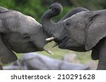 Two Elephants Interacting And...