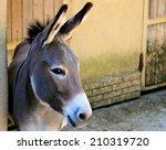 Gray italian sardinian donkey
