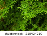 arborvitae branches close up | Shutterstock . vector #210424210