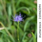 Small photo of Wild flower Round-headed Rampion, scarce nationally UK but common on Sussex chalk downland. County flower of Sussex.