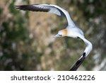 gannet flying | Shutterstock . vector #210462226