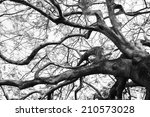 Old Flame Tree In Black White...