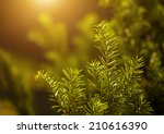 pine tree closeup | Shutterstock . vector #210616390