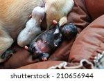 newborn puppy | Shutterstock . vector #210656944