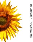 Beauty Sunflower In Isolated...