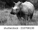A Young White Rhino  ...